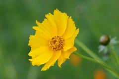 Margarida amarela Foto de Stock Royalty Free