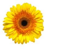 Margarida amarela Fotografia de Stock Royalty Free