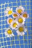 Margarida amarela Foto de Stock