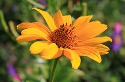 Margarida amarela Imagem de Stock