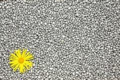 Margarida amarela. imagens de stock