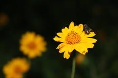 Margarida amarela com um inseto Fotos de Stock