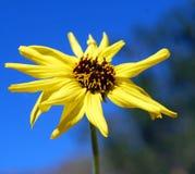 Margarida amarela de florescência Imagens de Stock
