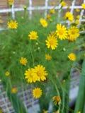Margarida amarela de florescência Imagem de Stock