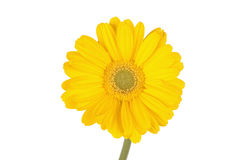 Margarida amarela do gerber Fotografia de Stock Royalty Free