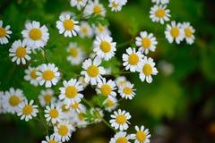 Margarida amarela dos centros das flores brancas imagens de stock royalty free