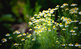 Margarida amarela e branca Fotos de Stock Royalty Free