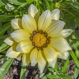Margarida amarela magnífica imagens de stock