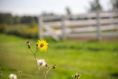 Margarida amarela na haste no prado com cerca branca fotos de stock