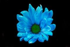 Margarida azul de Gerber imagem de stock royalty free