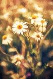 A margarida bonita floresce no prado pelo por do sol, ilustração com c Fotografia de Stock