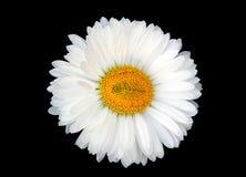 Margarida branca bonita Fotografia de Stock