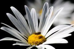 Margarida branca com uma abelha pequena Fotos de Stock