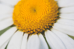 Margarida branca e amarela Imagem de Stock