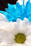 Margarida branca e azul de Gerber fotos de stock royalty free