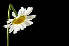 Margarida branca fresca bonita do verão foto de stock royalty free