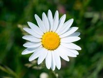 Margarida branca na grama verde Imagem de Stock