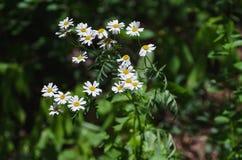 Margarida com flores branco-amarelas foto de stock