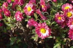 Margarida-como o flowerhead do crisântemo com centro amarelo e as pétalas cor-de-rosa imagem de stock royalty free