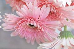 Margarida cor-de-rosa Foto de Stock Royalty Free