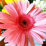 Margarida cor-de-rosa Imagens de Stock Royalty Free