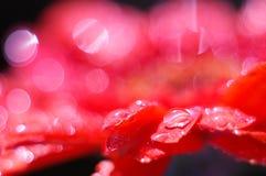 Margarida cor-de-rosa com bokeh brilhante (2) Fotografia de Stock