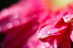 Margarida cor-de-rosa com bokeh brilhante (1) Imagem de Stock
