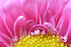 Margarida cor-de-rosa do Gerbera Fotos de Stock