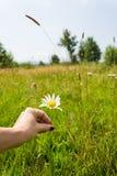 Margarida da colheita Foto de Stock Royalty Free