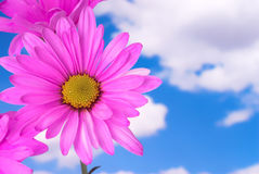 Margarida da cor-de-rosa quente no céu Foto de Stock