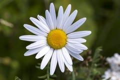 Margarida Daisy Flower Close Up imagem de stock