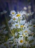 Margarida daisy.GN do vulgare do Leucanthemum foto de stock