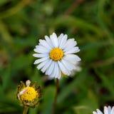 Margarida de florescência branca macro imagens de stock