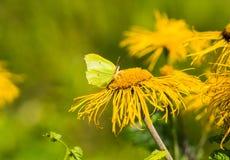 Margarida de Heartleaf com pétalas amarelas Foto de Stock Royalty Free