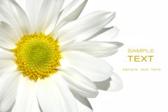 Margarida de shasta branca no branco Imagens de Stock