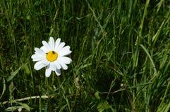 Margarida de Shasta no prado recentemente verde Fotos de Stock Royalty Free