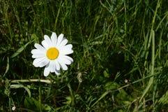 Margarida de Shasta no prado recentemente verde Foto de Stock