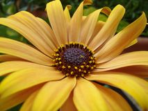 Margarida do amarelo de Alaska imagens de stock royalty free