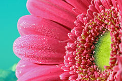 Margarida do Gerbera Imagem de Stock