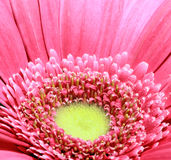 Margarida do Gerbera Foto de Stock Royalty Free