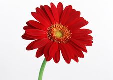 Margarida do Gerbera Foto de Stock
