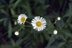 Margarida do sul, flor delicada que inspira a pureza Imagem de Stock Royalty Free