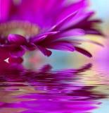 Margarida-gerbera violeta Foto de Stock