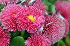 Margarida inglesa cor-de-rosa closeup Imagem de Stock