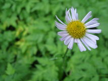 Margarida na flor Foto de Stock Royalty Free