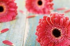 Margarida natural fresca do gerbera Conceito do cumprimento do dia da mãe ou da mulher Fundo bonito da flor Estilo do vintage Fotografia de Stock Royalty Free