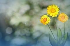 A margarida ou a camomila viva bonita com o vazio na esquerda em árvores do parque e no céu borraram o fundo Flores florais da mo imagem de stock royalty free