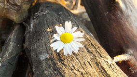 Margarida pequena no fundo de madeira Imagens de Stock