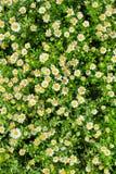 Margarida plantada na terra Fotos de Stock Royalty Free