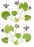 Margarida pressionada e secada da flor (marguerite) Isolado nos vagabundos brancos Imagem de Stock